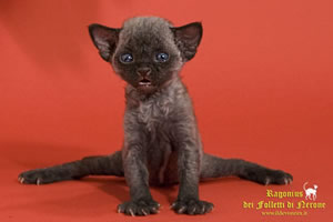 devon rex kittens Ragonius dei Folletti di Nerone